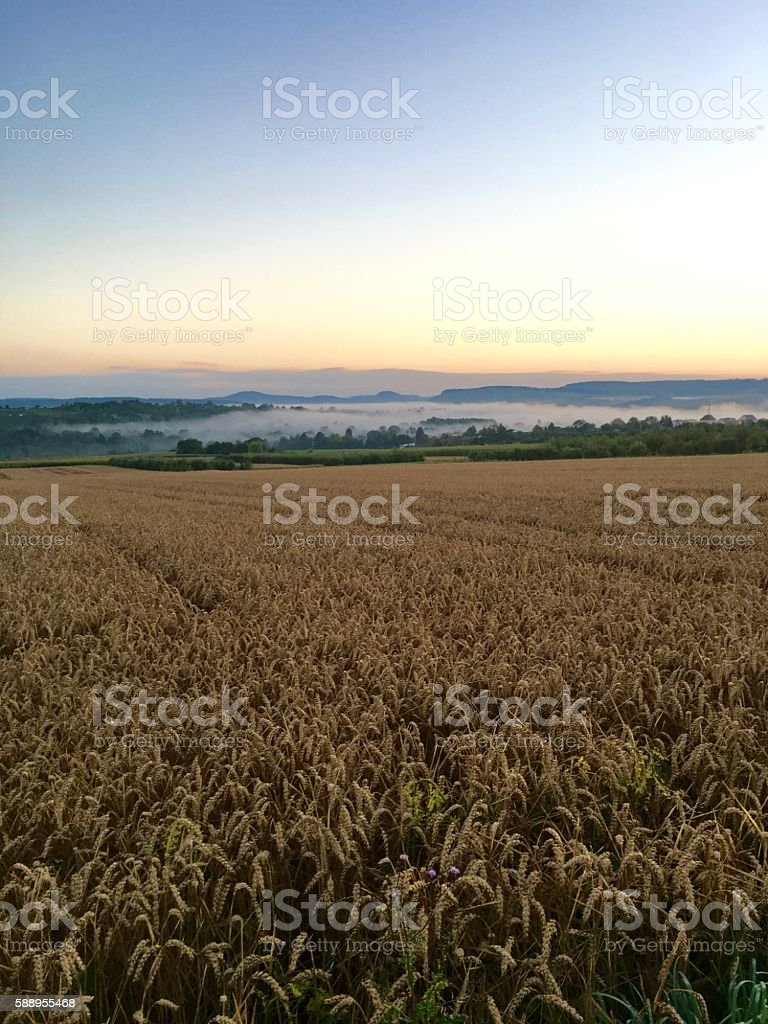 Wheatfield morning in august with fog lying in the valley stock photo