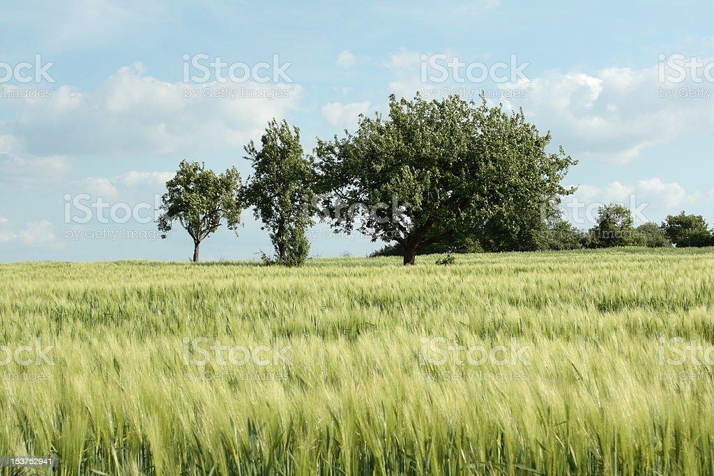 Wheatfield stock photo