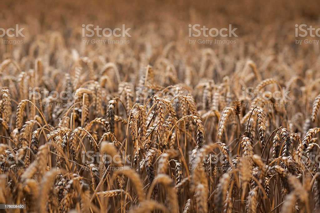 wheatfield royalty-free stock photo