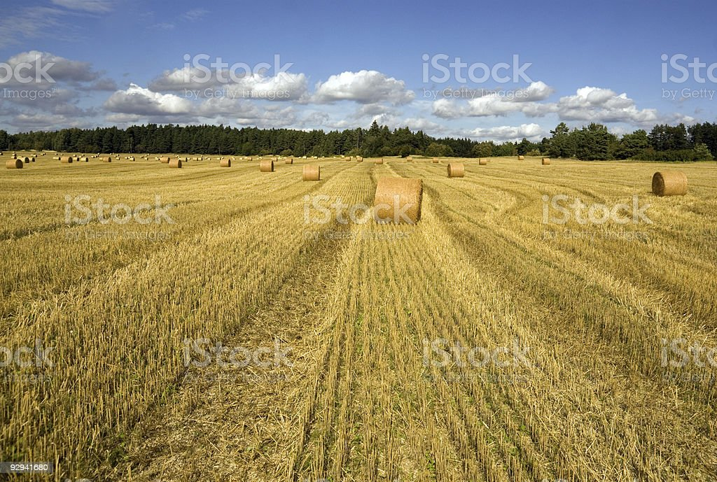 Wheatfield stock photo