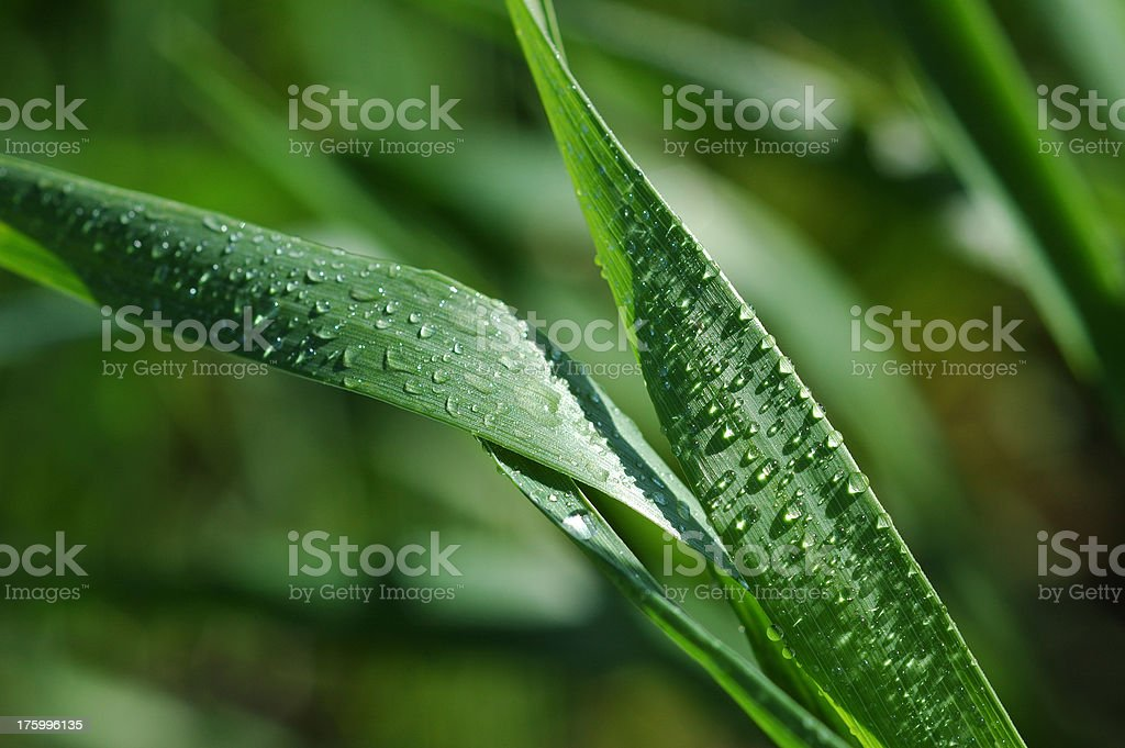 Wheatgrass 2 royalty-free stock photo