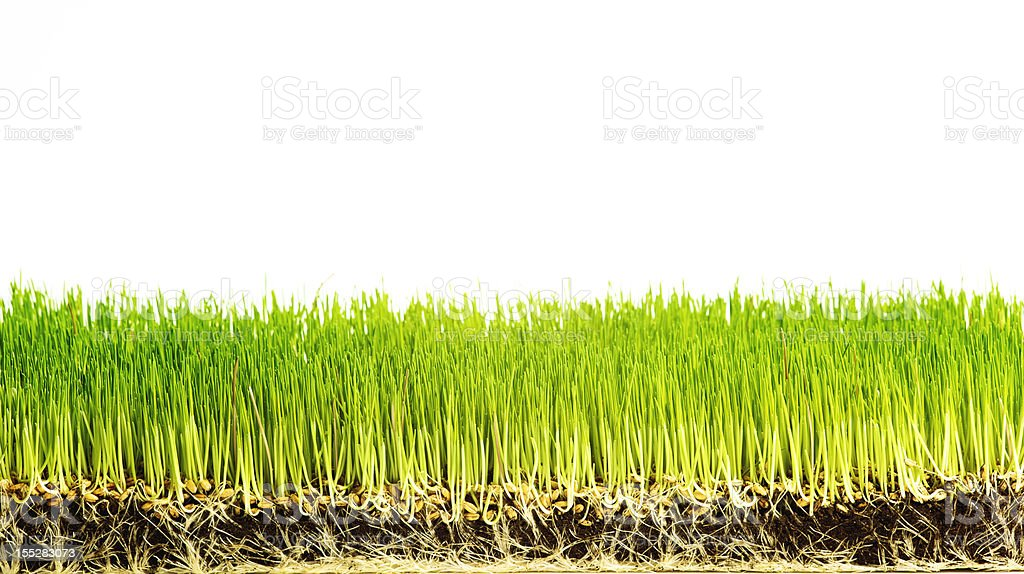 Wheatgrass blades and roots exposed royalty-free stock photo