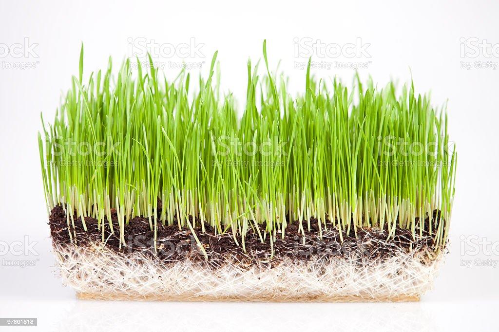 wheatgrass cross section royalty-free stock photo