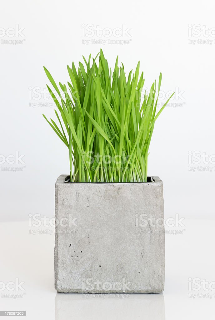 Wheatgrass growing in concrete pot stock photo