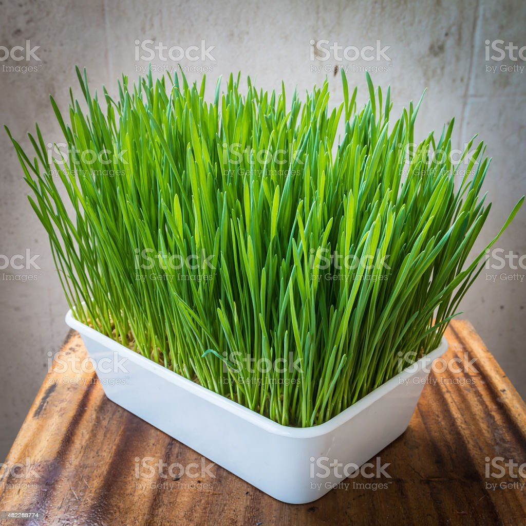 Wheatgrass in plastic pot stock photo