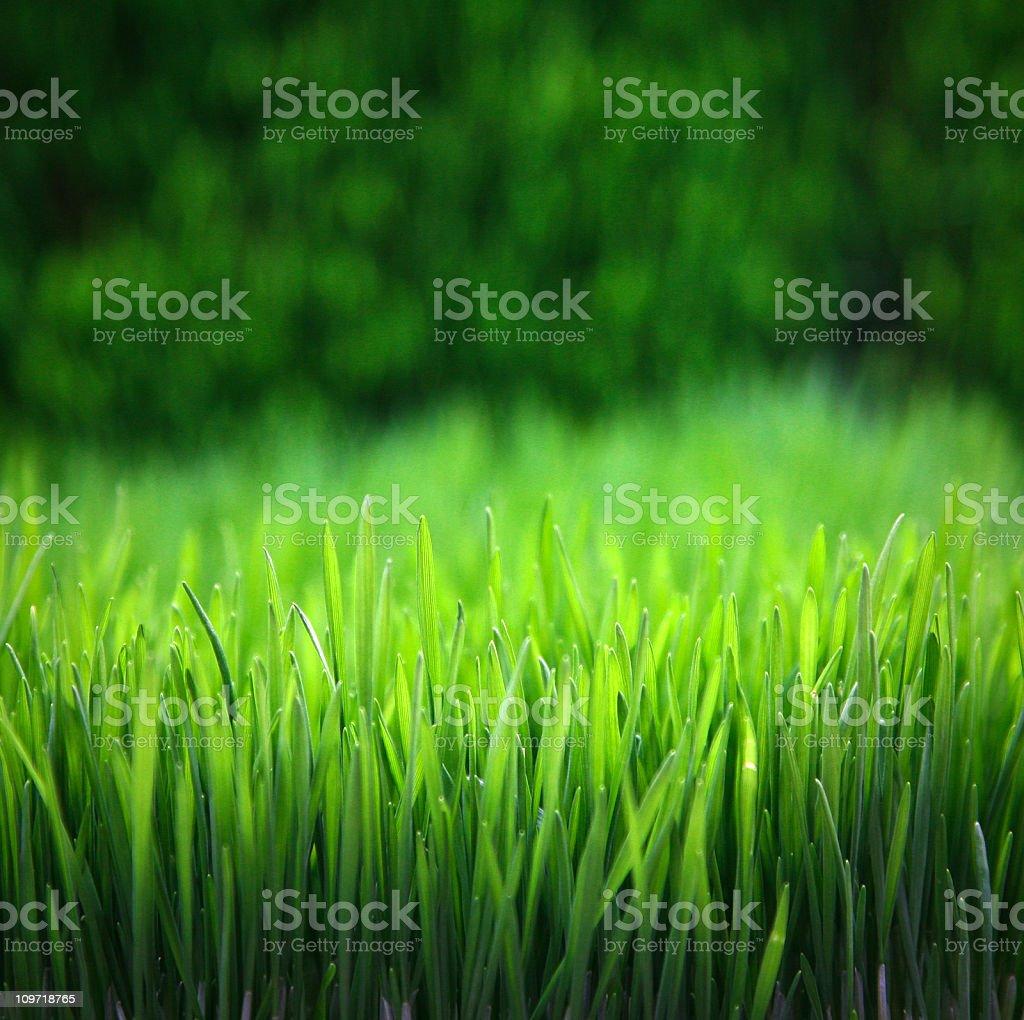 wheatgrass royalty-free stock photo