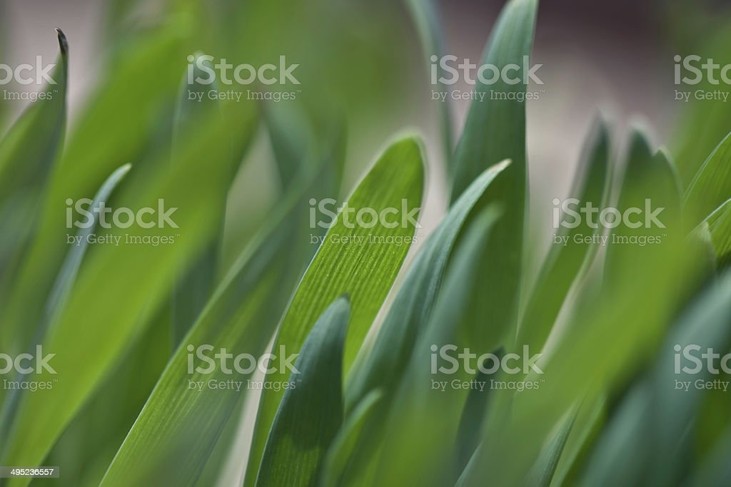 Wheat-grass royalty-free stock photo