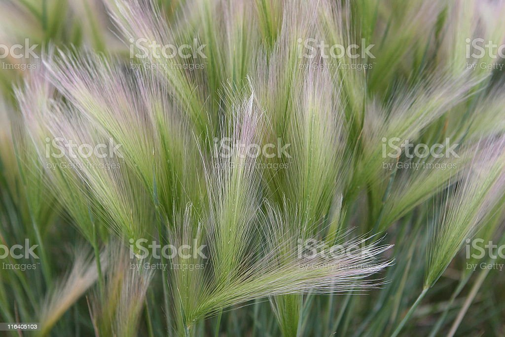 Wheatgrass Seed Stem Prairie Grass royalty-free stock photo