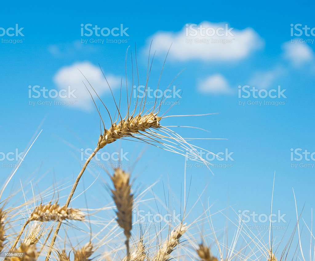 Wheats against blue sky stock photo