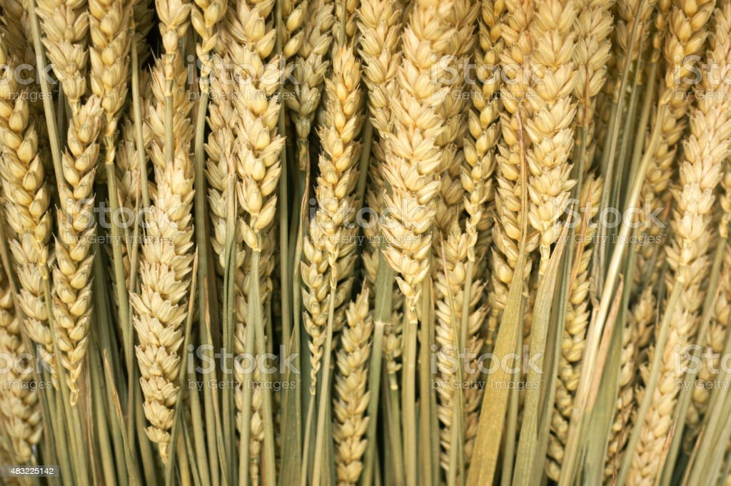 wheats background stock photo