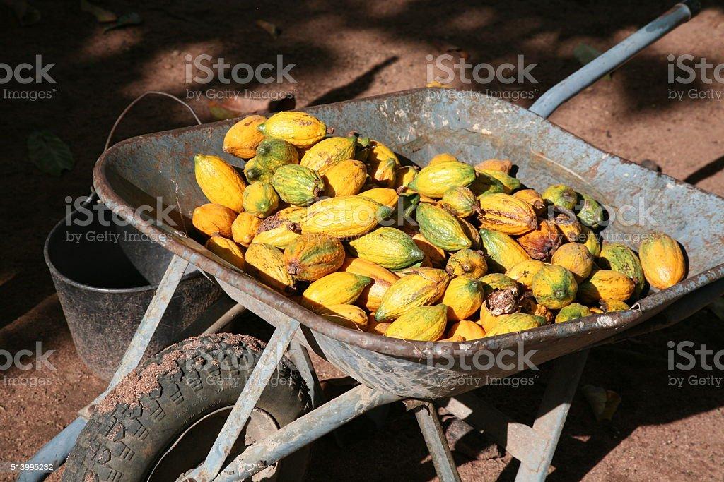 wheelbarrow with freshly harvested cacao fruits stock photo