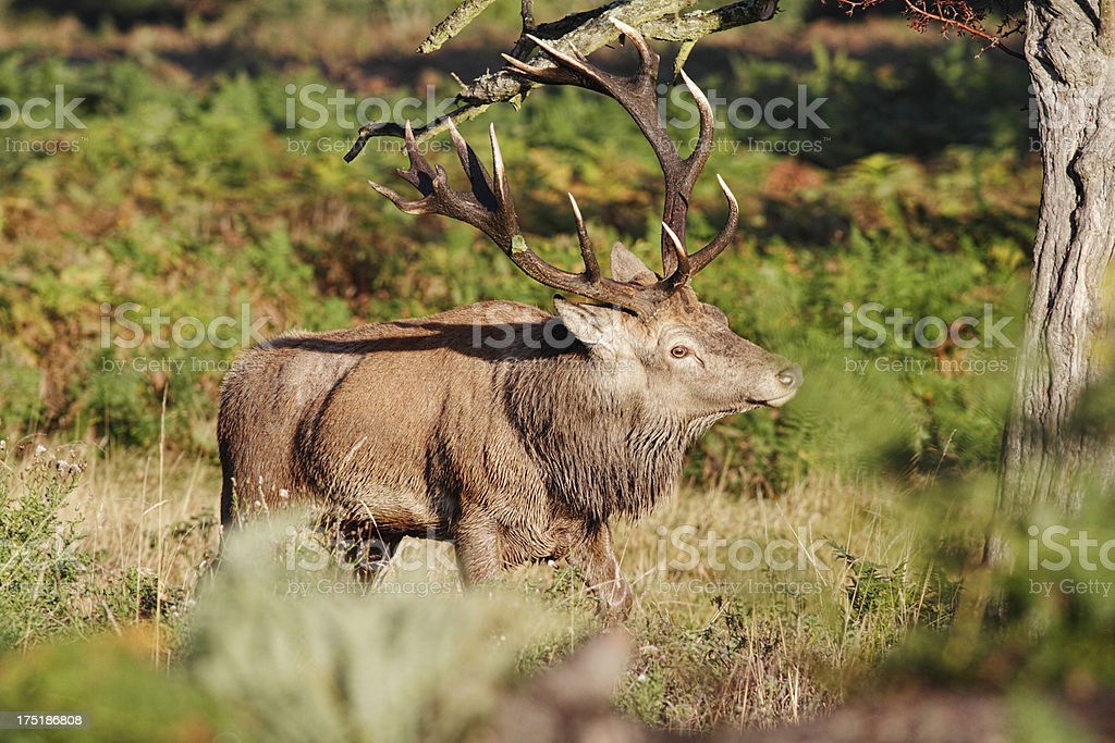 Red deer stag walking untangles antlers from tree branch stock photo