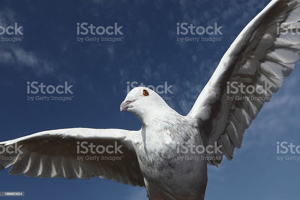 When doves fly two royalty-free stock photo