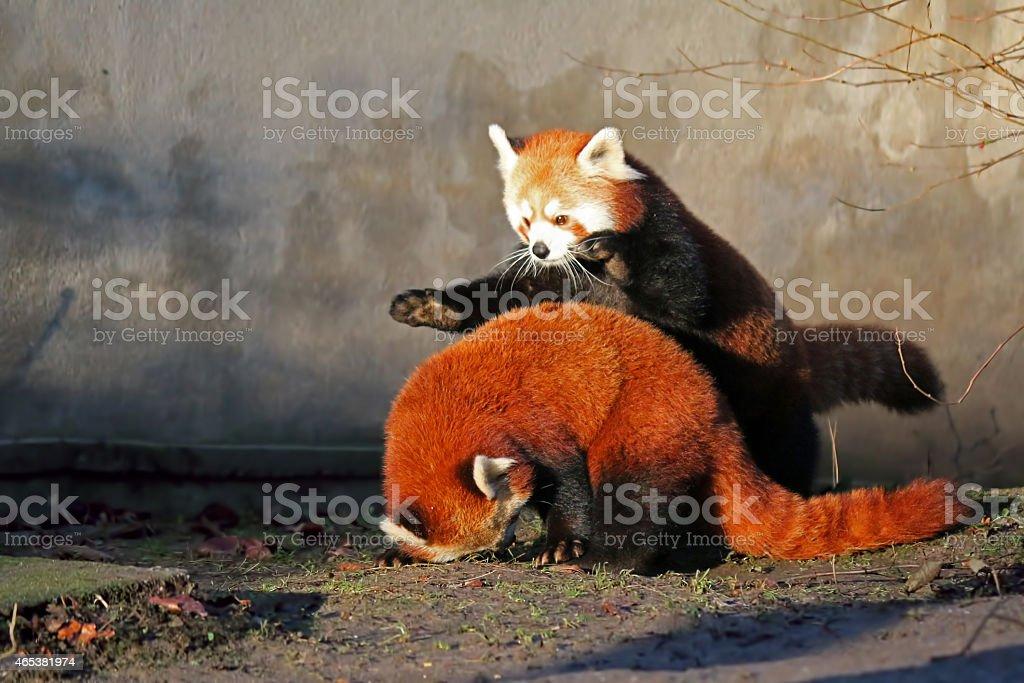 When Pandas Pounce royalty-free stock photo