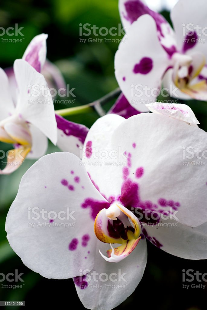 Whie and Pink Orchids stock photo