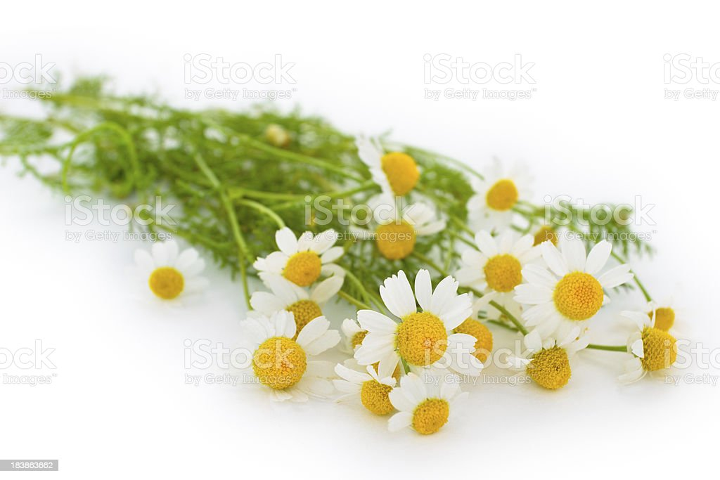 Whild chamomiles. stock photo
