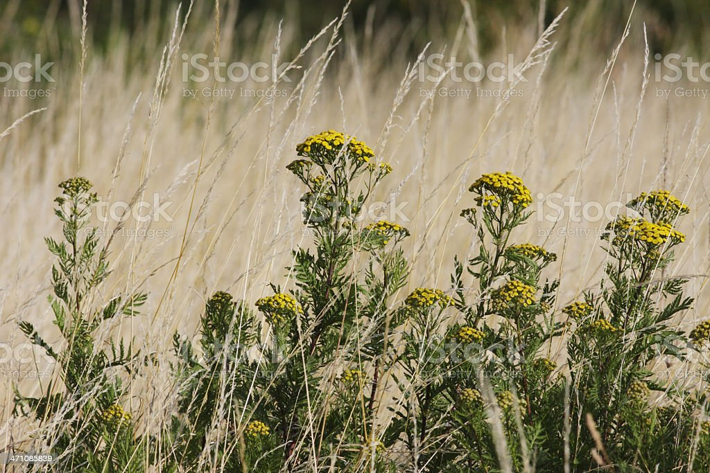 Tansy Tanacetum vulgare in field of dry summer grass royalty-free stock photo