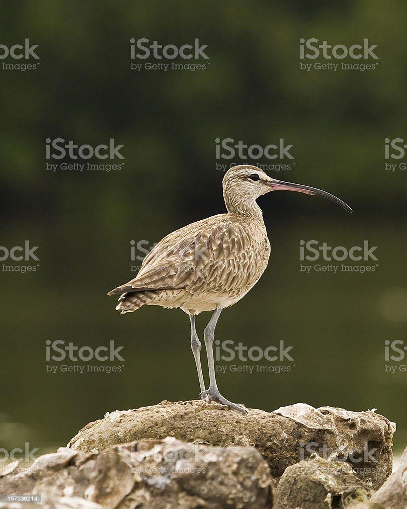 Whimbrel Against Dark Background (Shorebird) royalty-free stock photo