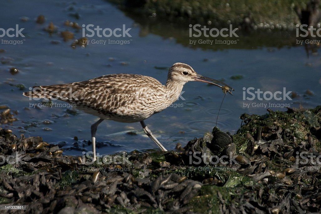 Whimbrel eating a crab. stock photo