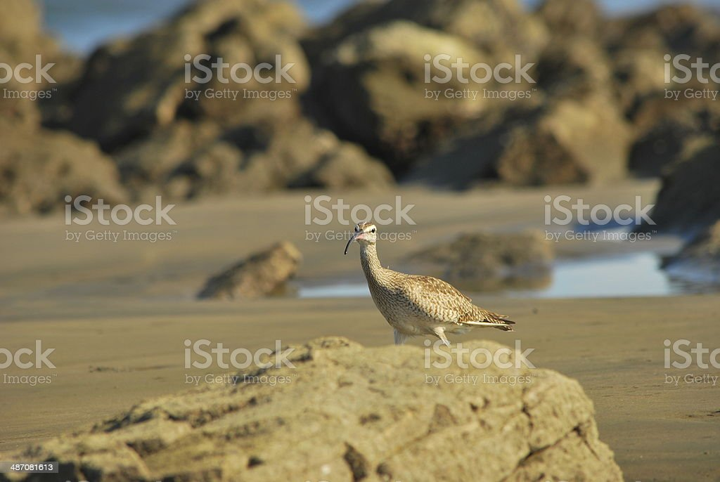 Whimbrel (Numenius phaeopus) searching food in the shore stock photo