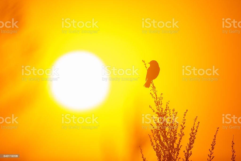 Whinchat enjoying sunrise stock photo