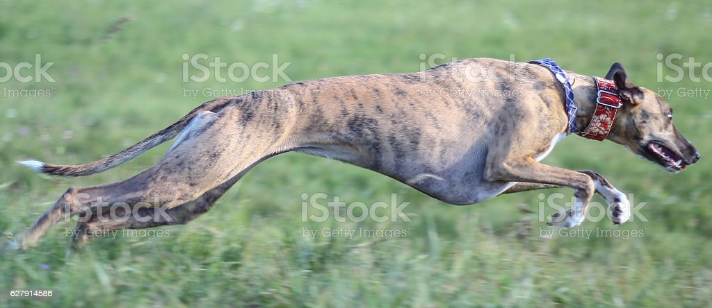 Whippet Action stock photo