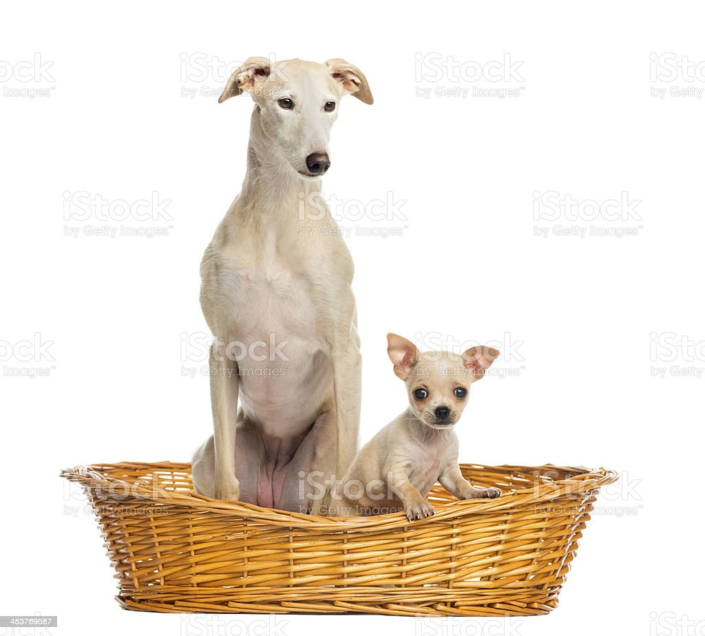 Whippet and Chihuahua puppy in wicker basket, isolated on white royalty-free stock photo