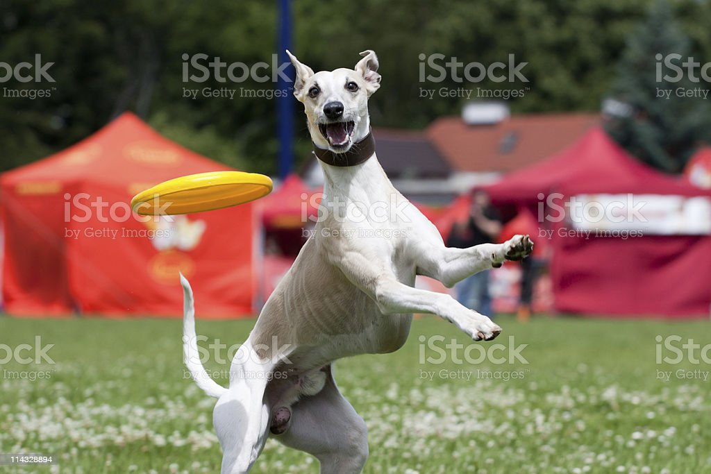 Whippet catching frisbee stock photo