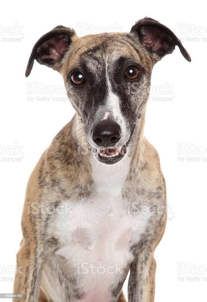 Whippet close-up portrait on a white background stock photo