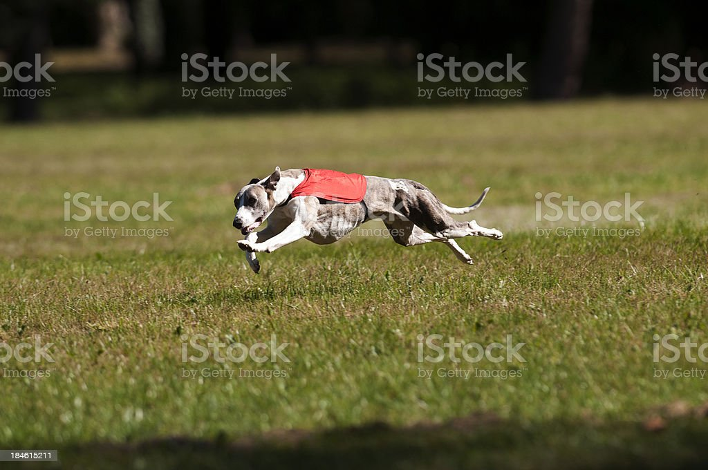 Whippet coursing royalty-free stock photo