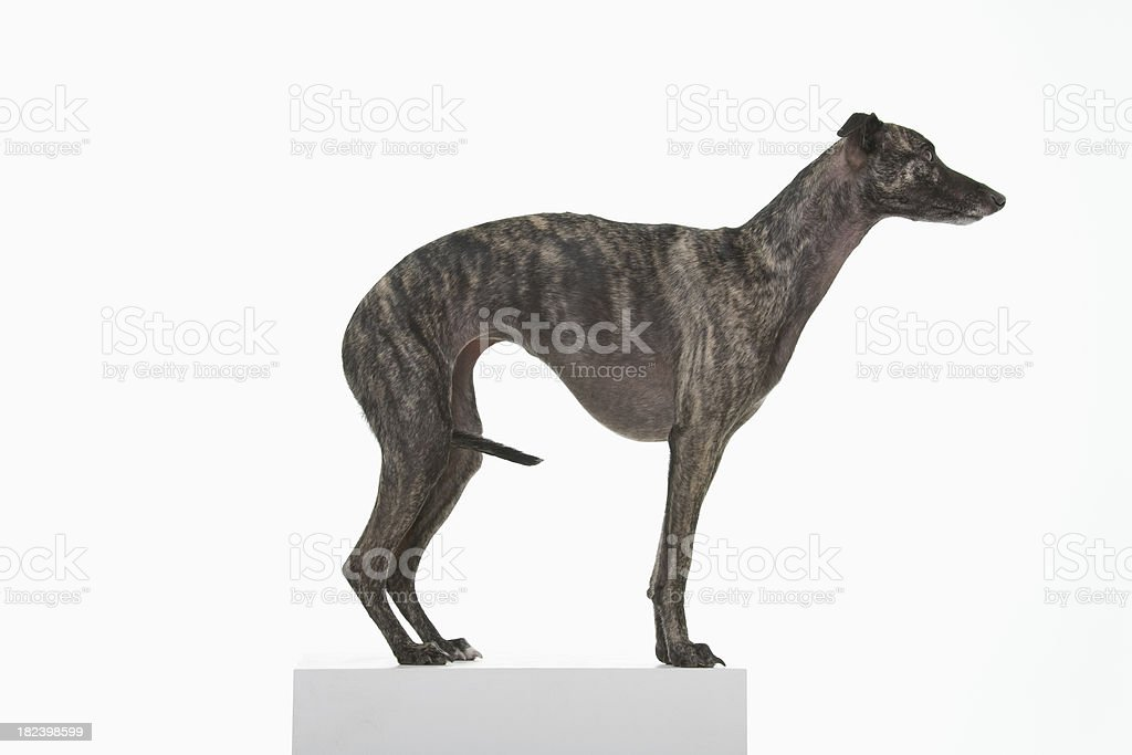 Whippet dark brown stock photo