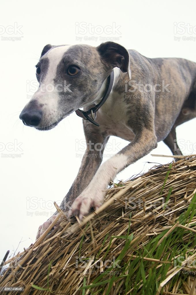 Whippet dog about to jump off a bale of hay royalty-free stock photo