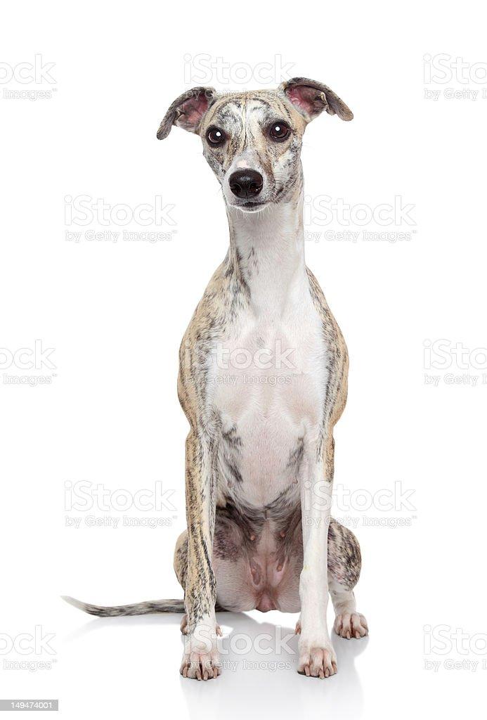 Whippet dog on white background royalty-free stock photo