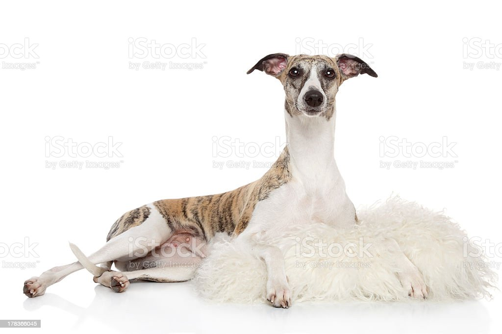 Whippet in sheep skin on a white background royalty-free stock photo