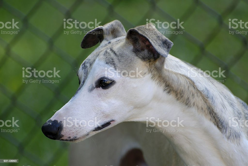 Whippet - male royalty-free stock photo
