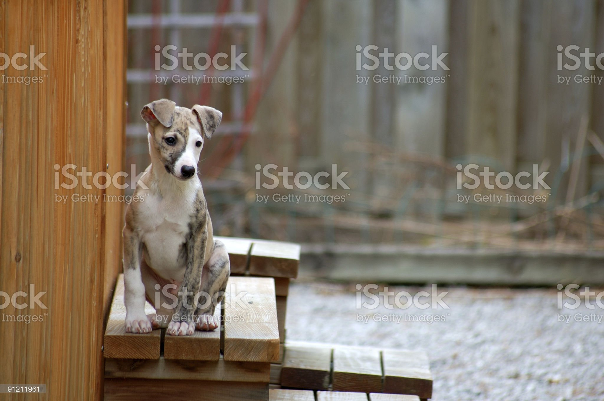 Whippet - Male Puppy royalty-free stock photo