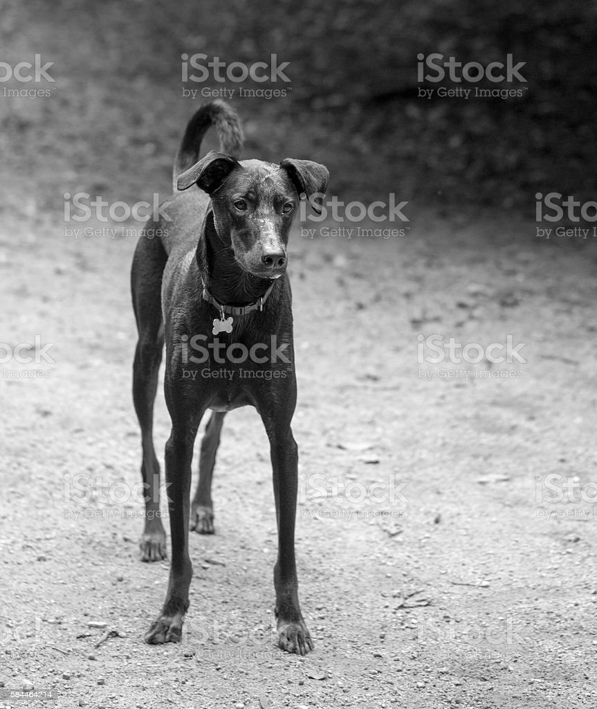 Whippet mix waiting for owner stock photo