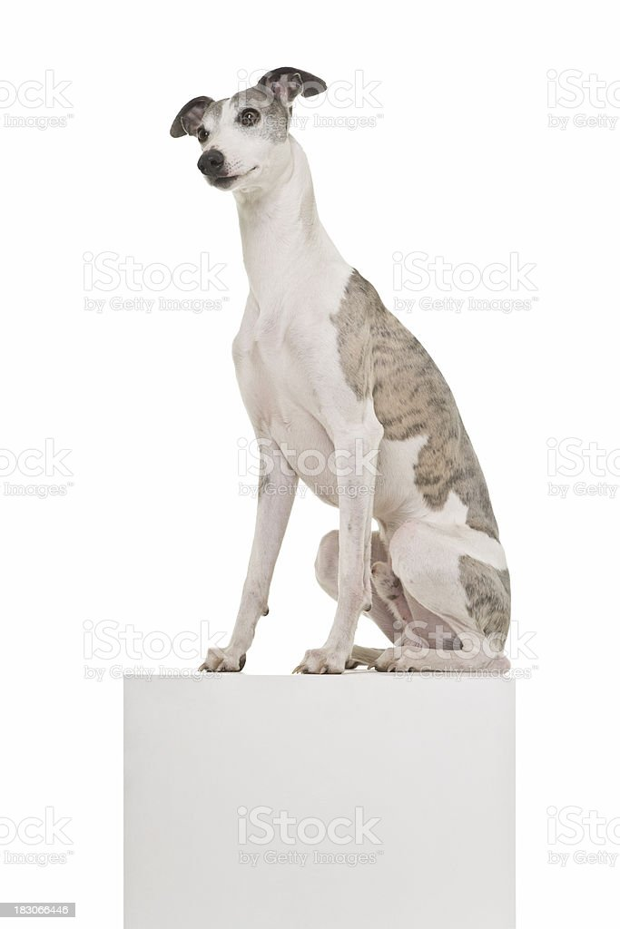 Whippet on a Podium stock photo