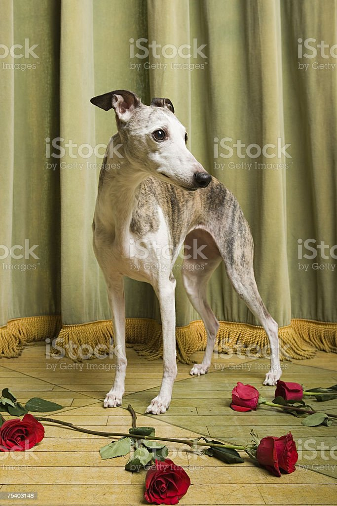 Whippet on stage with roses stock photo