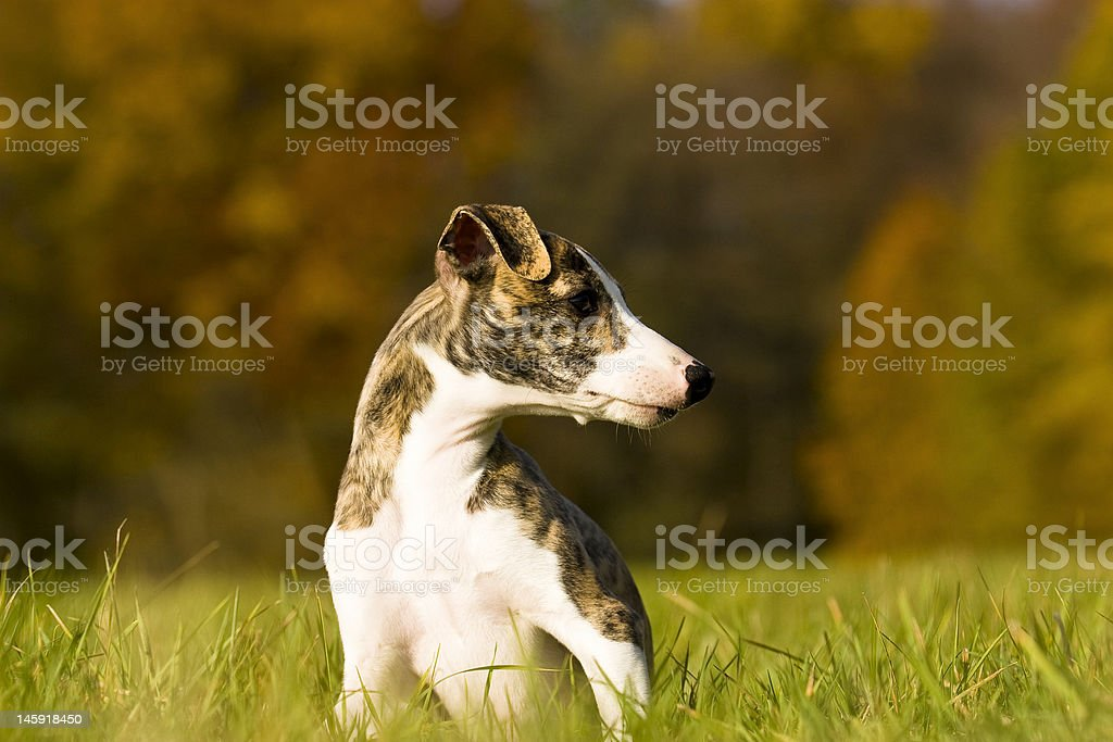 whippet royalty-free stock photo