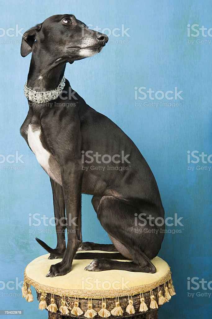 Whippet stock photo