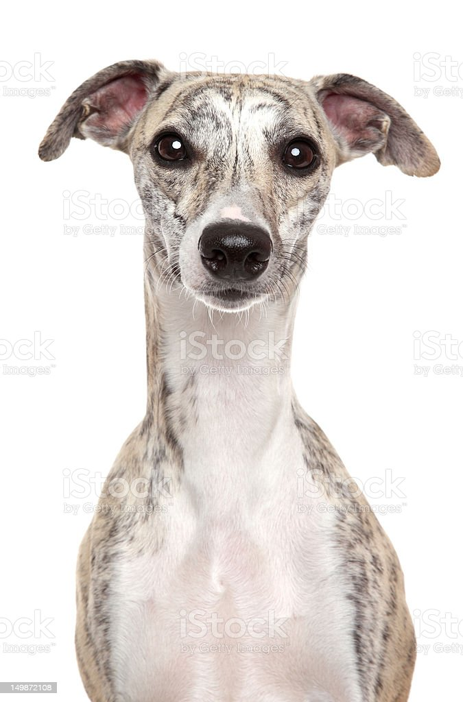 Whippet portrait on white background royalty-free stock photo
