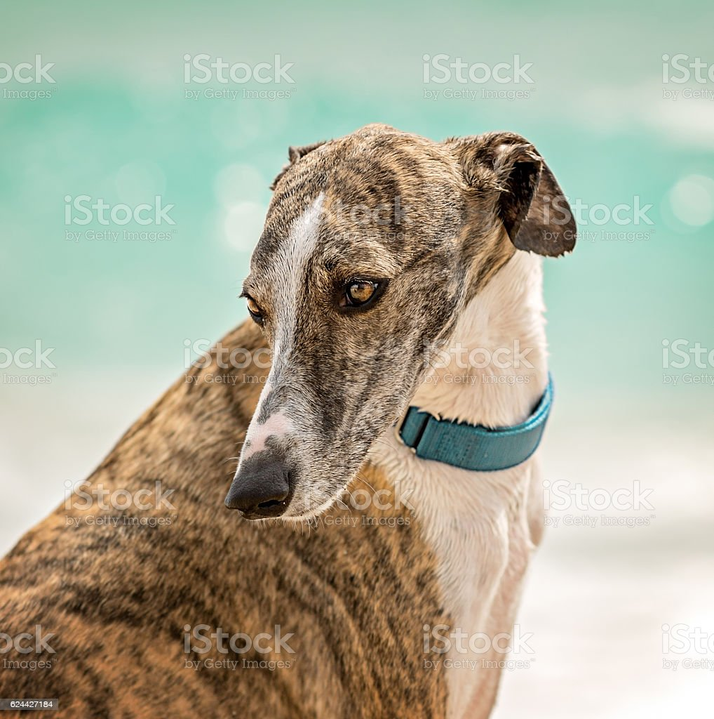 Whippet (Canis familiaris) portrait stock photo