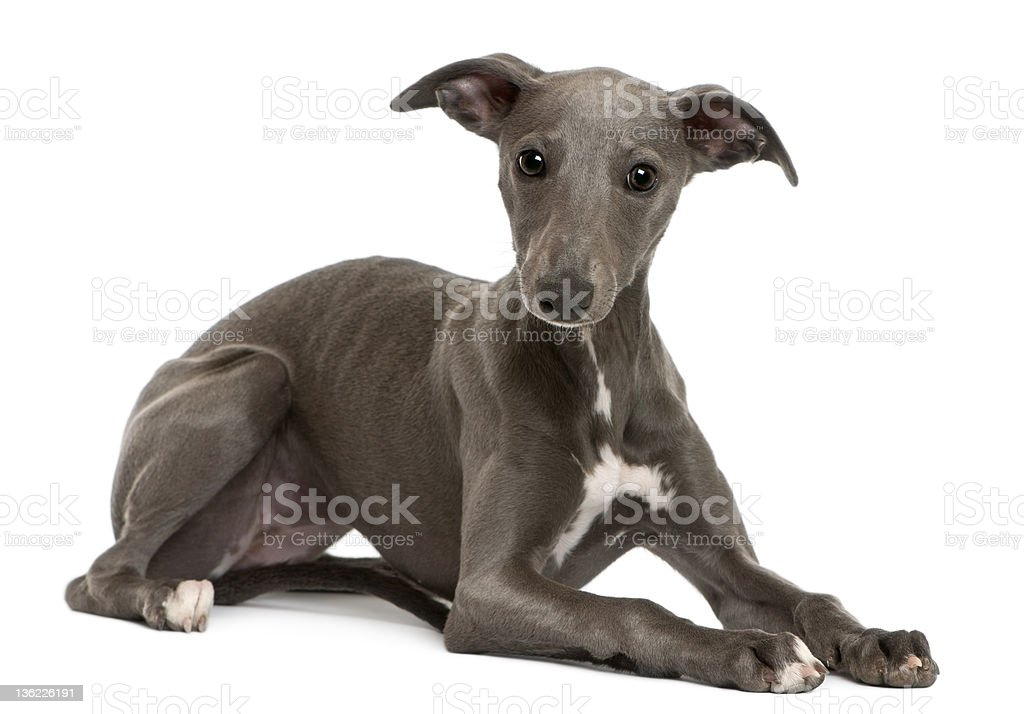 Whippet puppy, 6 months old, lying stock photo