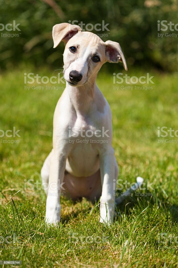 Whippet puppy at three months stock photo