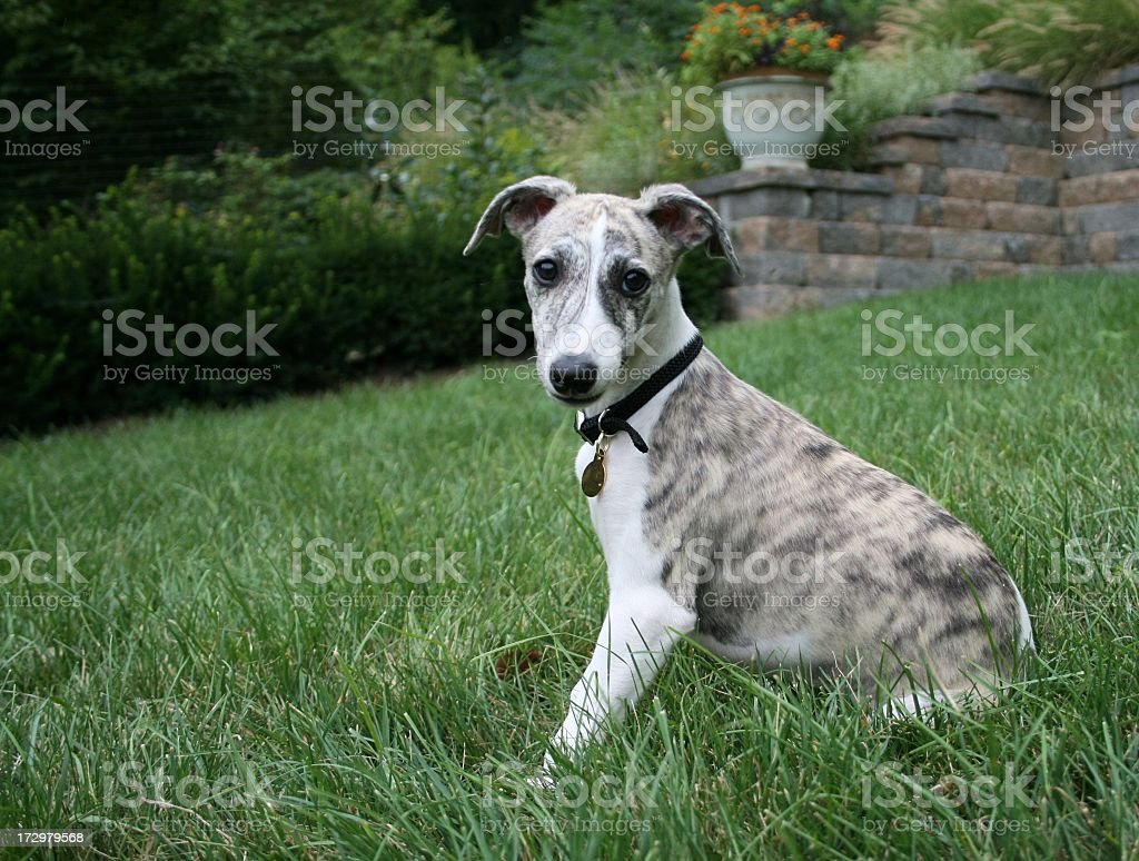 Whippet Puppy royalty-free stock photo