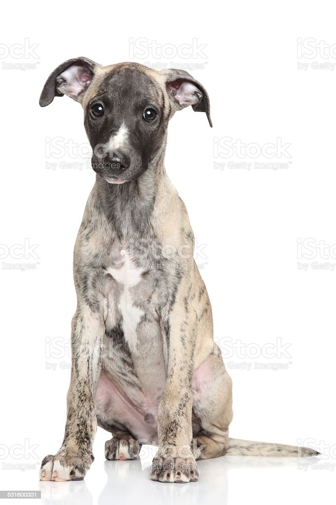 Whippet puppy stock photo