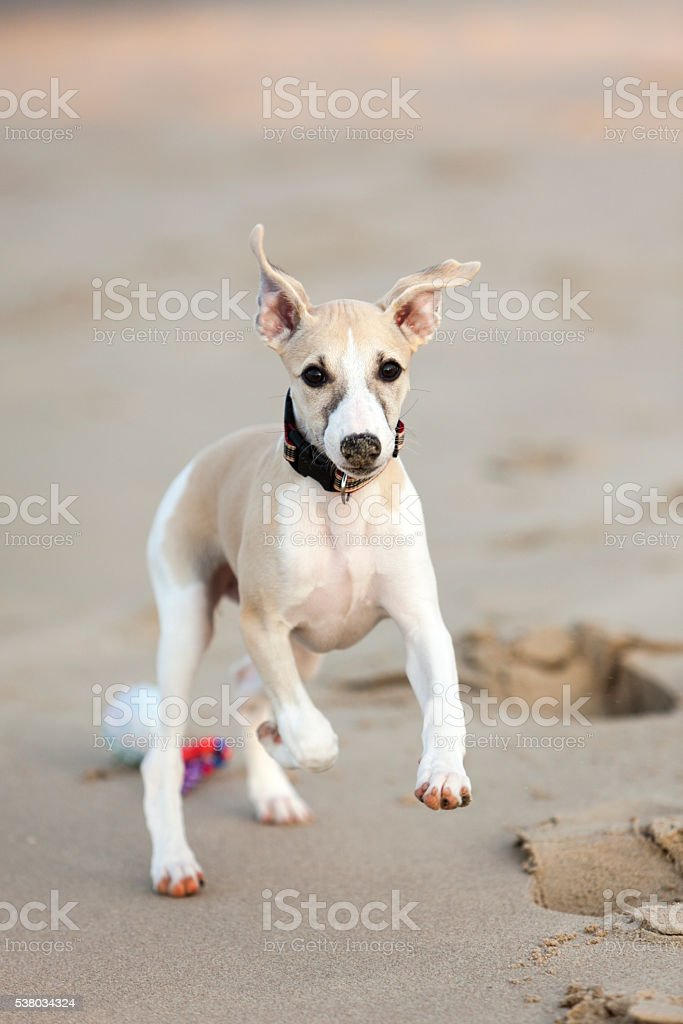 Whippet puppy playing at beach stock photo