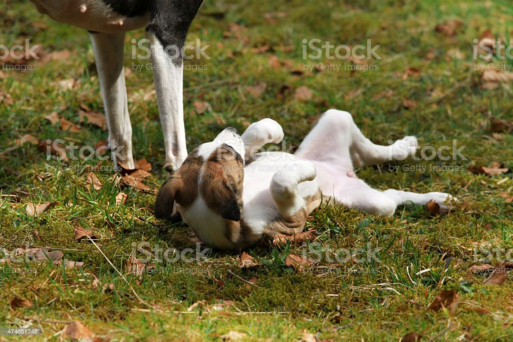 Whippet puppy playing on the grass stock photo