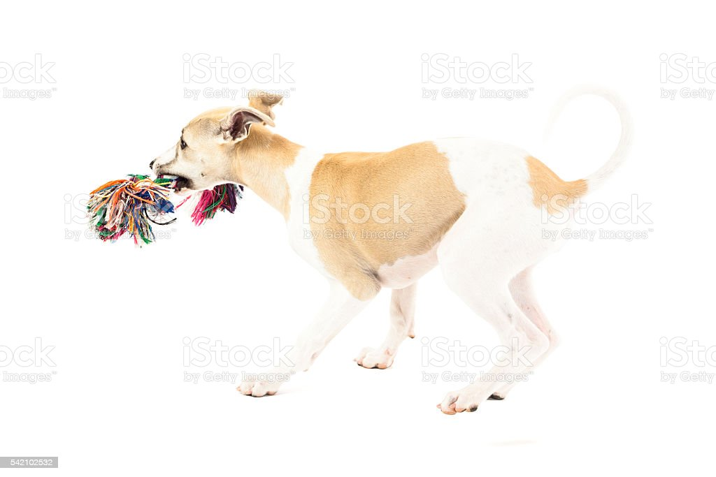 Whippet puppy playing with rope toy stock photo